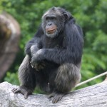 Do Bad Chimps Go to Hell?