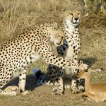 And the cheetah shall lie down with the impala