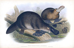 John Gould print image of Ornithorhynchus anat...